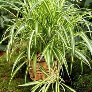 Bouture Plante Verte : chlorophytum comosum 39 variegatum 39 guide de survie de la plante plantes pinterest plante ~ Melissatoandfro.com Idées de Décoration