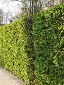 Quels Arbustes Pour Une Haie : les arbustes ~ Premium-room.com Idées de Décoration