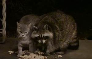 Feral Kitty Adores Raccoon So Much He Can't Stop the ...