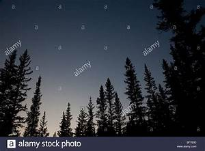 pine trees in a forest at night Stock Photo, Royalty Free ...