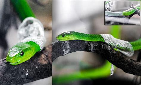 green mamba sheds  skin   snake museum  tanzania