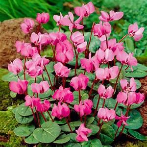 Alpenveilchen Im Garten : rosa vorfr hlings alpenveilchen online kaufen bei g rtner p tschke ~ Orissabook.com Haus und Dekorationen