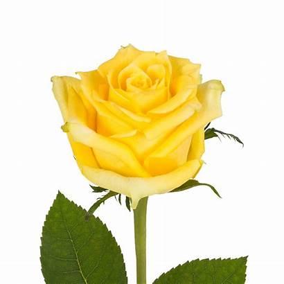 Yellow Roses Flowers Natural Rose Fresh Cut