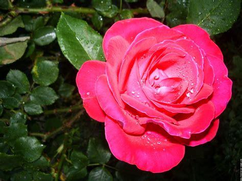 Signification De La Fleur Rose