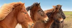 Pferde Kaufen Bremen : islandpferde kaufen islandpferde verkauf reiterferien ~ Orissabook.com Haus und Dekorationen