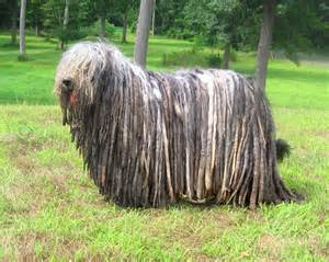 Large Dogs That Dont Shed Much by Big Breeds Of Dogs That Don T Shed Simple Image Gallery