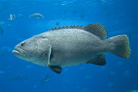 fish grouper water carnivorous giant freshwater types species pet learn getting care take
