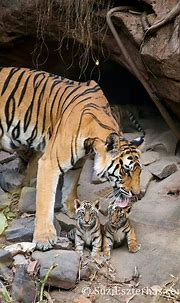 Pin by Terri McManus on Animals that I love   Tiger ...