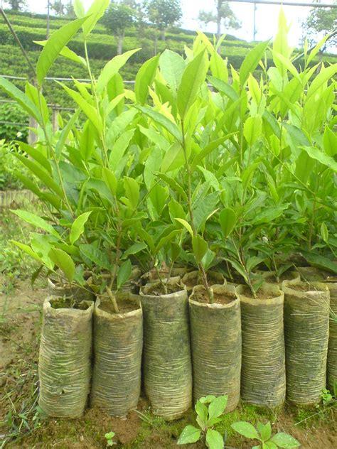 tea plantation agronomy manure  fertilizer