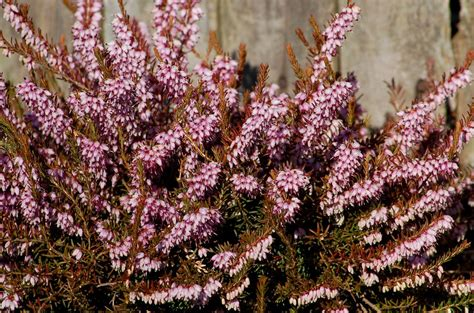Small Evergreen Shrubs For A Colorful Yard