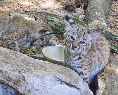 Bobcat Maryland Big Cats Kin Adore