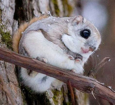 japanese dwarf flying squirrel adorable animals pinterest