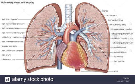 pulmonary veins  arteries stock photo  alamy