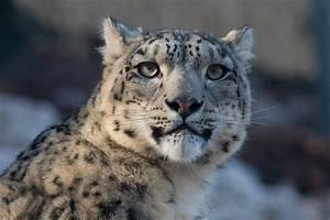 The Snow Leopard: Ghost Cat of the Mountains – The Jaguar