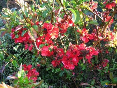 arbuste a fleur photo arbuste 224 fleurs rouges