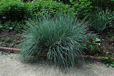blue oat grass blue oat grass helictotrichon sempervirens in edmonton st albert sherwood park stony plain