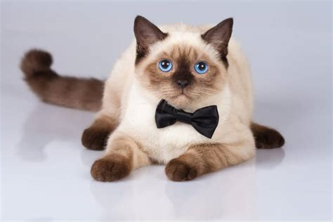 siamese cat much cost does cats