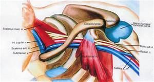 Scalenus Medius Muscle  Internal Jugular Vein  Scalenus