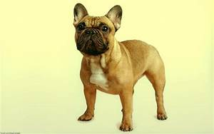 French Bulldog Full HD Wallpaper and Background Image ...