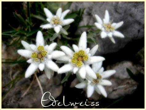 la stella alpina fiore edelweiss stella alpina