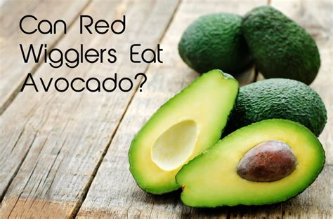 avocado eat wigglers worms avocados worm bin wiggler