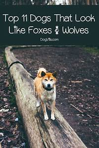 Top 11 Dogs That Look Like Foxes & Wolves - DogVills