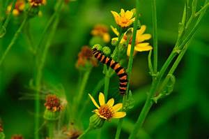 Caterpillars Insect Wallpaper Free Hd Images For Download