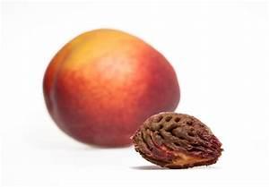 Aprikosenbaum Selber Ziehen : pfirsichbaum aus einem kern selber ziehen so geht 39 s ~ A.2002-acura-tl-radio.info Haus und Dekorationen