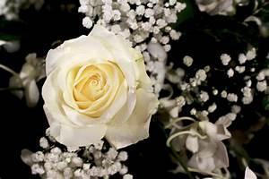Fleur Rose Et Blanche : roses tous les messages sur roses chaisard self service le monde de l 39 image ~ Dallasstarsshop.com Idées de Décoration