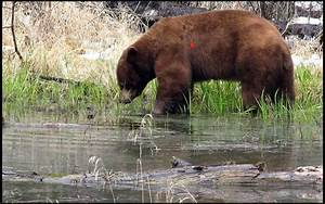 Bear Wounding