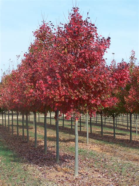 acer trees images acer rubrum fairview flame lipstick maple red maple tree blerick trees buy online trees