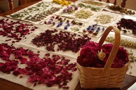 Rose Petal Salve Recipe – Eco Snippets