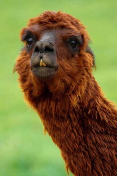 Funny Llama Free Stock Photo - Public Domain Pictures