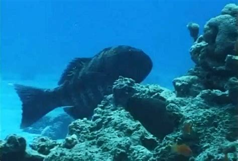 moray eels chase inter groupers species hunting team meal together working