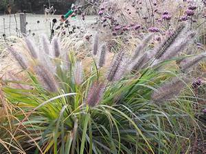 Pennisetum alopecuroides 'Moudry' — Meadowgate Nursery ...