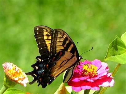 Butterfly Wallpapers Older Desktop Newer