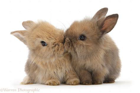cute animals photographs  lionhead cross bunnies kissing