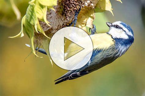 Vogelwelt Im Eigenen Garten Kleiber by Amsel Bis Zaunk 246 Nig 35 Winterv 246 Gel Im Portr 228 T Nabu
