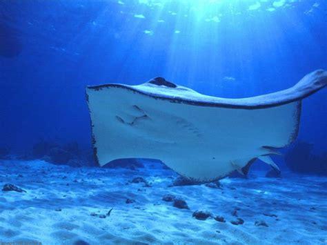 diving  manta rays  nusa penida