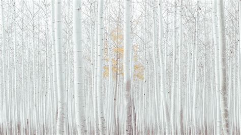 wallpaper white trees forest  nature