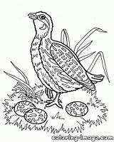 Coloring Quail Warthog Quails Template Printable Bird Popular Getcolorings Coloringhome sketch template