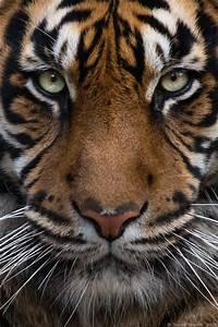 Leinwand Aufhängen Schnur : 23 besten gemalte tiger bilder auf pinterest leinwand zeichnungen und aquarell tiere ~ Yasmunasinghe.com Haus und Dekorationen