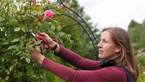 Rosen Schneiden Frühling : kletterrosen schneiden und pflegen tipps ~ Watch28wear.com Haus und Dekorationen