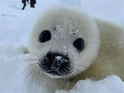 Seals Watching Russian Sea