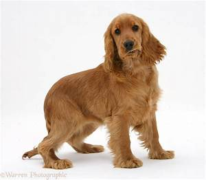 English Cocker Spaniel Breed Guide - Learn about the English Cocker Spaniel.