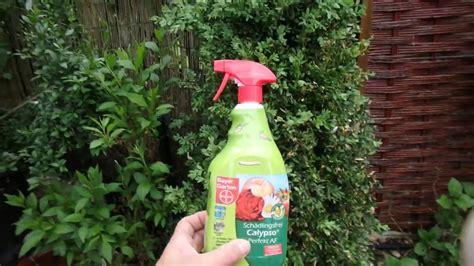 Raupen Am Buchsbaum by Erfahrung Buchsbaum Raupe Und Calypso Bayer Nach 3