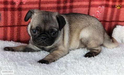 The 25+ Best Pug Puppies For Sale Ideas On Pinterest