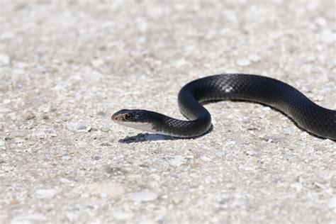 florida snakes catseye pest control