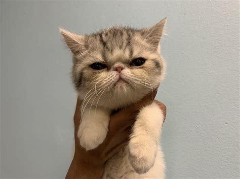 Exotic Short Hair Kittens for Sale in Westchester, New York