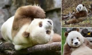 meet  worlds  brown panda qizai   keeper